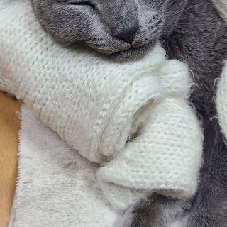 ロシアンブルー風 メス猫 小柄