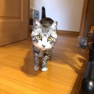 福猫まるちゃん♀推定2〜3歳 - 里親募集