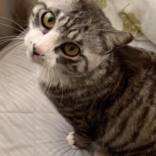 福猫まるちゃん♀推定2〜3歳の画像