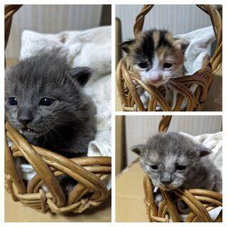 【募集一旦停止します】母猫・仔猫 0か月里親募集 − 茨城県