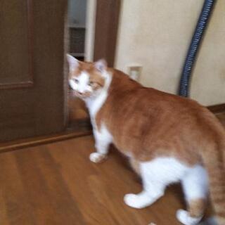 急募です 茶シロのオス猫の画像