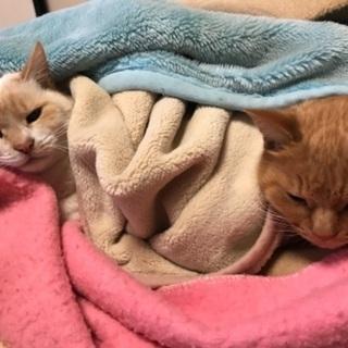 祖母が飼っていた猫二匹の里親を募集致します。の画像