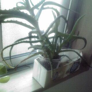 アロエベラ (植物)