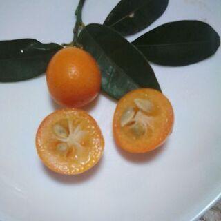 食用◆金柑(きんかん)・完熟【甘い・無農薬】20個位でまとめてお渡し