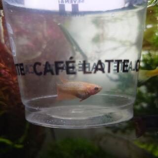 ベタ 幼魚2