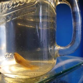 ベタ 幼魚5