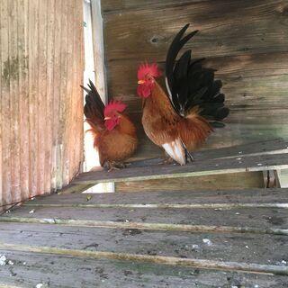 猩々矮鶏オス2羽
