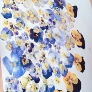 ビオラ素材押し花