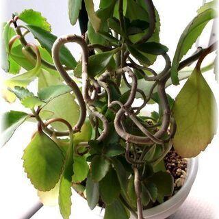 【幸せの葉っぱ】『マザーリーフ』 変わり枝ぶり物 草丈40…