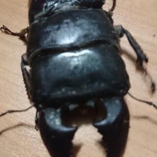 スマトラオオヒラタクワガタ極太血統  幼虫5頭セット 限定2セットのみ