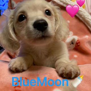 チワックス( ˶ˆ꒳ˆ˵ )子犬販売 画像追加しました。 …