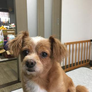 ※チワワ&トイプードルミックス犬