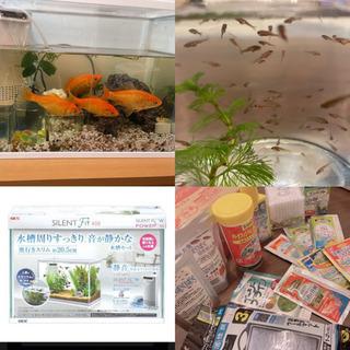 【金魚譲ります】金魚(和金)オス2匹メス2匹 稚魚20〜30匹 ...