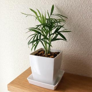 観葉植物 テーブルヤシ 20cm 2.5号鉢と受け皿付き