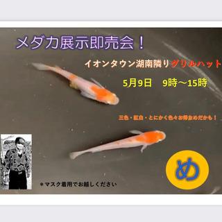 5/9(日)🐟グリルズハットでメダカ販売あります🐟