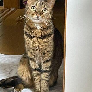 ベンガルのような柄のとてもなつっこい女の子です!人も猫も大好き!