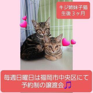 毎週日曜日は福岡市中央区にて予約制の譲渡会🎵キジ姉妹💕