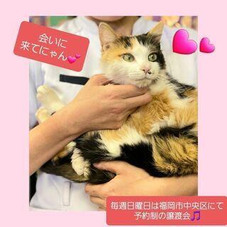 毎週日曜日は福岡市中央区にて予約制の譲渡会🎵超甘えん坊のミケ子さん💕