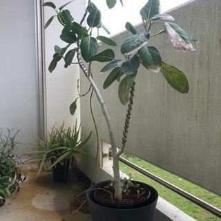 観葉植物 大型 フィカス