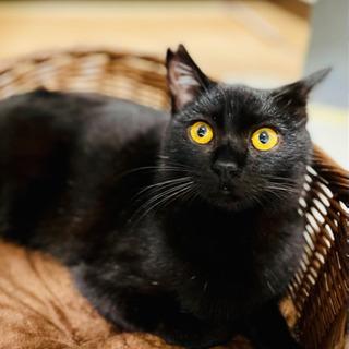 元気で賢い生後7ヶ月位の黒猫(フジくん)