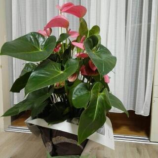 ピンクのアンスリウム 観葉植物 植木 盆栽 インテリア