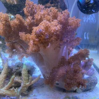 【ネット決済】サンゴ