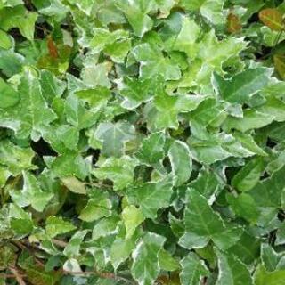 🏠 ステイホーム 🏠  アイビーの苗(2苗有り)植物