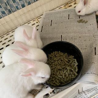 白4匹、子ウサギの里親サン募集中です。