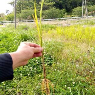 (現地引取限定)【無農薬・無肥料・自然栽培】(新芽10本)…