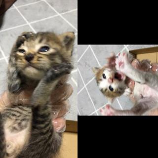 子猫 2匹 生後2週間前後