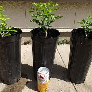 姫ウコギ 苗3鉢 新芽を山菜として食用! 生垣としても利用…