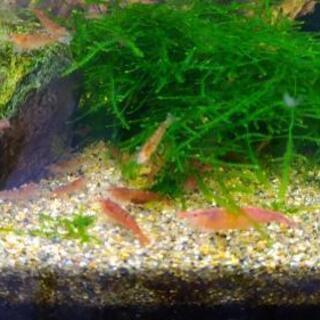 赤いミナミヌマエビ 15匹