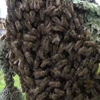 日本蜜蜂の巣箱置かせてください。蜜蜂お譲り下さい。