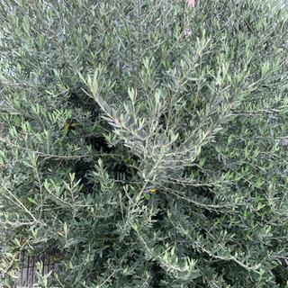 オリーブの挿し木