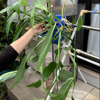 ヤマサキカズラ 観葉植物 根だししたサンスベリアおまけ
