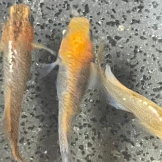 【ネット決済】紅薊の卵10-20