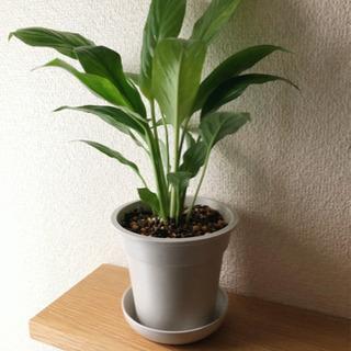 観葉植物 スパティフィラム 30cm ライトグレーカラーの3.5...