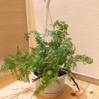 観葉植物 トキワシノブ 5号ハンギングプランター付き