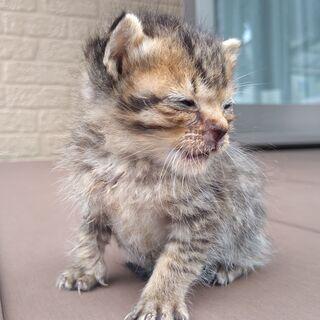 子猫(うずら(仮))の里親募集です。
