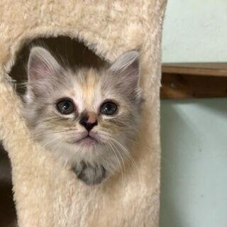 2ヶ月兄弟猫さんの里親さん募集です