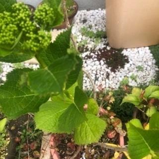 紫陽花と根元にハツユキカヅラの鉢植え