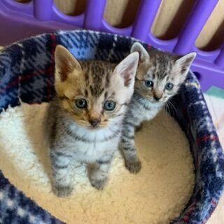 3匹の女の子仔猫