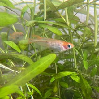 めだか10匹 稚魚 オレンジ透明鱗 3色 ダルマ遺伝子有 鈴メダカ