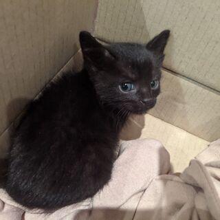 【トライアル決定】生後2ヶ月位のお目々ぱっちり黒猫ちゃん。