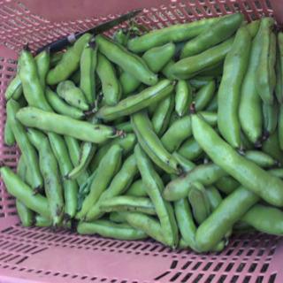 新鮮野菜!9日収穫そら豆です(^^)