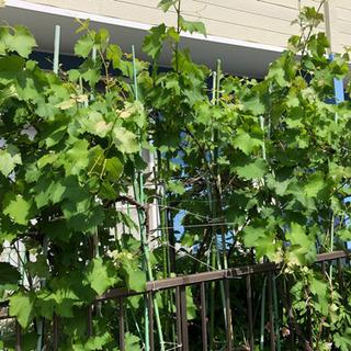 【決まりました】ブドウの木を育ててくれる方を探してます!
