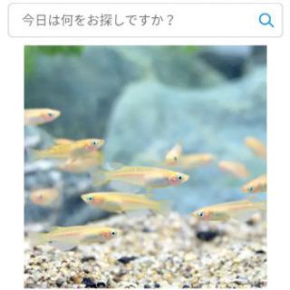 ヒメダカ 10匹+α
