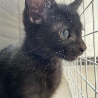ウル君⭐︎可愛い生後2ヶ月⭐︎黒猫ちゃんオス