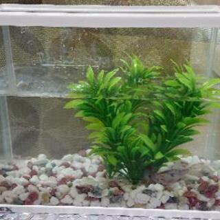 ②水槽→金魚~朱文金~ 2匹付き