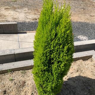 コニファー 庭木 ① シンボルツリー